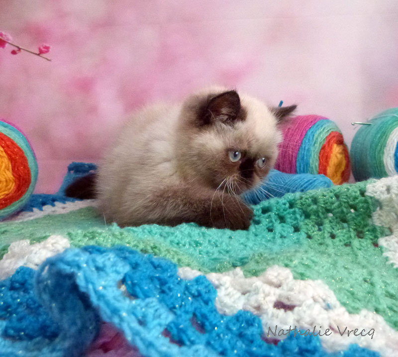 Chaton Exotic Shorthair colourpoint disponible